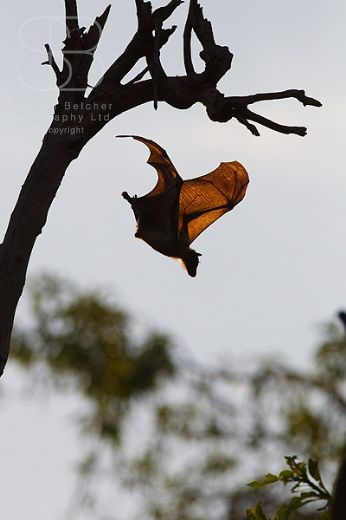 Straw-Coloured Fruit Bat, (Eidolon helvum), Kasanka National Park, Zambia, Africa, vertical, one, alone, diving, tree, branch, wings, spread, flying, side view