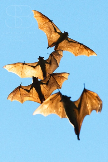 Straw-Coloured Fruit Bat, (Eidolon helvum), Kasanka National Park, Zambia, Africa, vertical, low angle view, soaring, flying, wings, spread, translucent, floating, back lit, stretched
