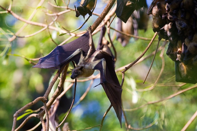 Straw-Coloured Fruit Bat, (Eidolon helvum), Kasanka National Park, Zambia, Africa, horizontal, hanging, upside down, wings, span, faces, branch, holding on, stretching, translucent,