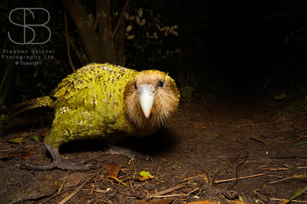 Kakapo (Strigops habroptilus), Codfish Island/ Whenua Hou, New Zealand