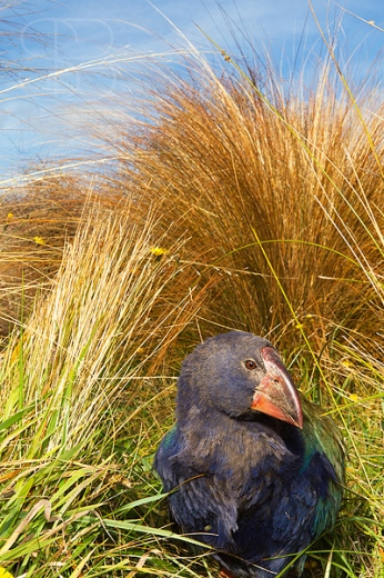 Takahe Chick (Porphyrio mantelli), Burwood, New Zealand, vertical, young, sheltering, native grasses, flightless bird, outdoors, head turned sideways, endangered, threatened species, one, alone