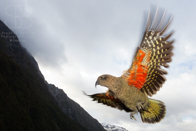 Kea, Mountain Parrot, Arthur's Pass National Park, South Island, New Zealand, (Nestor notabilis)