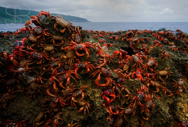 Christmas island red crabs, horizontal, orange, rocks, sky, cloud, blue, no people, crawling, large group, mound, legs, sea, ocean, claws, Red Crab (Gecarcoidea natalis)