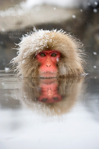 snow monkeys, vertical, front view, looking at camera, rock, snow on fur, fingers, winter, cold, baby, Jigokudani Nature Reserve, Japanese Alps, Nagano Prefecture, Japan, Japanese macaque, (Macaca fuscata)