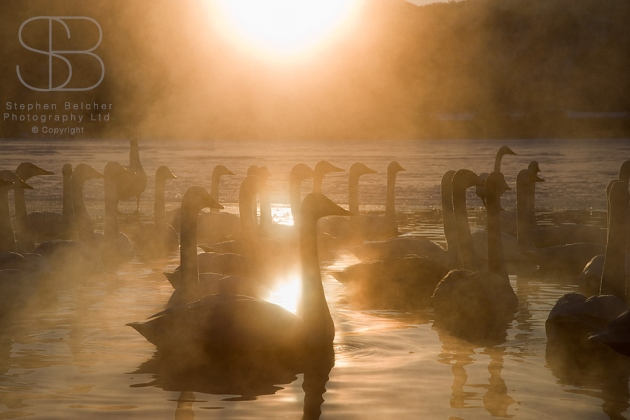 whooper swans, horizontal,  morning light, reflection, water, steam, mist, floating, sunlight, no sky, lake, Lake Kussharo-ko, Hokkaido, Japan, Whooper swans (Cygnus cygnus)