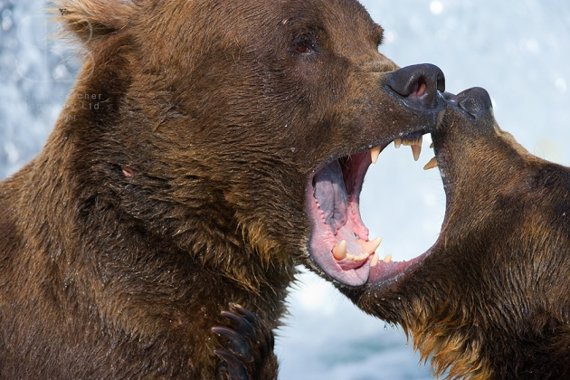 Brown Bear Grizzly Bear / Wildlife Nature Photography ...