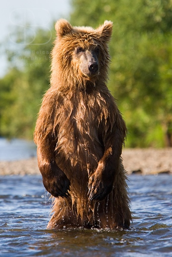 bears, brown, standing, wet, river, vertical, Katmai National Park, Alaska, Grizzly bears (Ursus arctos)