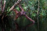 orangutans, horizontal, stretching, reaching, water, rain forest, hanging, Tanjung Putting National Park, Borneo, Indonesia, Bornean orangutan, (Pongo pygmaeus),