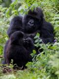 mountain gorilla, vertical, family, eating, together, Rwanda, Parc des Volcanoes , (Gorilla gorilla beringei)