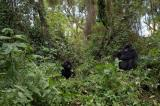 mountain gorilla, horizontal, family, trees, vegetation, sitting, together, Rwanda, Parc des Volcanoes , (Gorilla gorilla beringei)