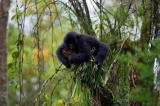 mountain gorilla, horizontal, young, in trees, holding on, vegetation, Rwanda, Parc des Volcanoes , (Gorilla gorilla beringei)