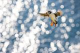 puffins, horizontal, flying, wings spread, water, sea, sun light, UK, Scotland, Shetland Islands, Atlantic puffin (Fratercoula arctica)