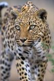 leopard, vertical, front view, looking off to side, standing, spots, Namibia, African leopard (Panthera pardus)