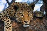 leopard, spots, eyes, face, horizontal, front view, tree, in tree, branch, bark, spots, feet, Namibia, African leopard (Panthera pardus)