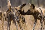 wild dogs, horizontal, group, standing, side view, rear view, touching noses, dry grass, Game farm, Namibia, African wild dog, (Lycaon pictus)