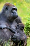 low land gorilla, vertical, female, young, baby, nursing, drinking, holding, hand, fingers, thinking, mother, grass, gripping