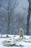 Golden Snub-nosed Monkey (Rhinopithecus roxellana), Zhouzhi Nature Reserve, Qinling Mountains, China, vertical, gray, snowing, alone, one, standing, walking on back legs, erect, upright, cold
