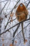 Golden Snub-nosed Monkey (Rhinopithecus roxellana), Zhouzhi Nature Reserve, Qinling Mountains, China, vertical, snow, bare branches, low angle view, one, alone, sitting, looking, long tail hanging, holding on, orange, perched