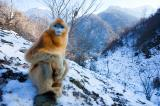 Golden Snub-nosed Monkey (Rhinopithecus roxellana), Zhouzhi Nature Reserve, Qinling Mountains, China, horizontal, sitting, posing, resting, front view, orange, blue face, snow, mountains, looking, alone, bare trees