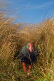 Takahe (Porphyrio mantelli), Burwood, New Zealand, vertical, walking towards camera, front view, outdoors, native grasses, endangered, flightless bird, looking, leg raised, moving